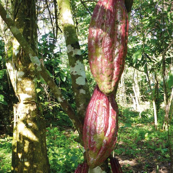 Illus Ficheproduit Cacao 08
